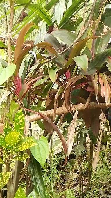 ボホール島でターシャ(メガネザル)を見る