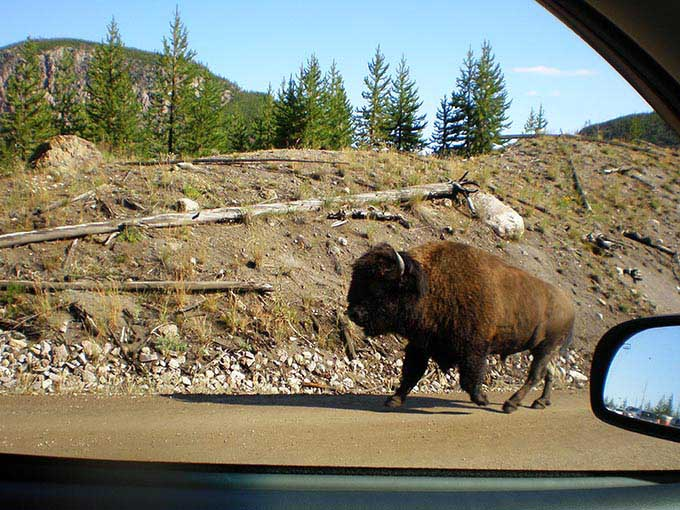 イエローストーン国立公園のバッファロー 動物の宝庫